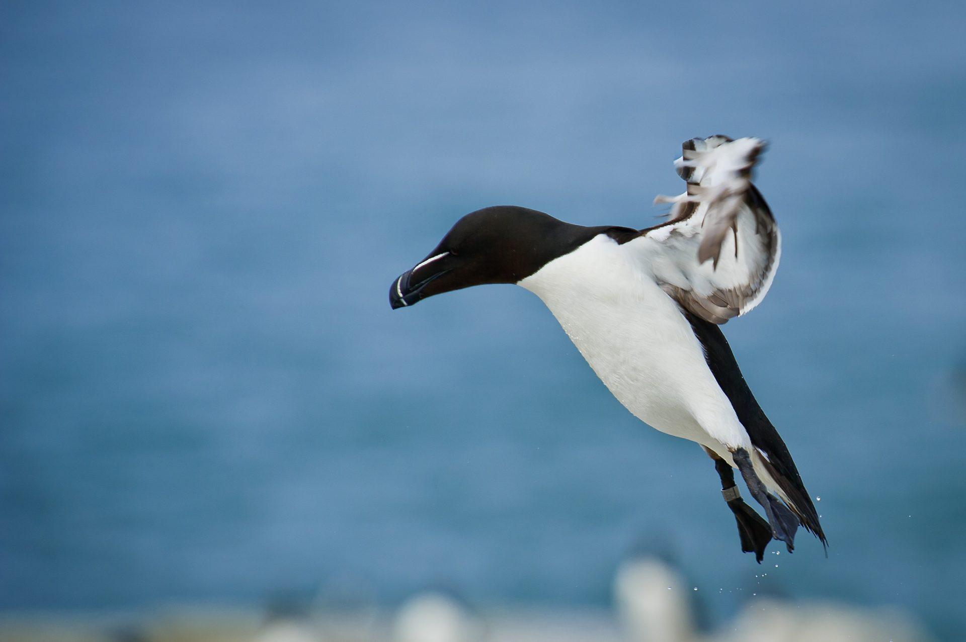 Razorbill bird